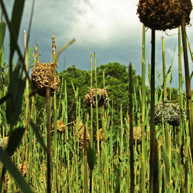 """Weaver bird nests"" stock image"
