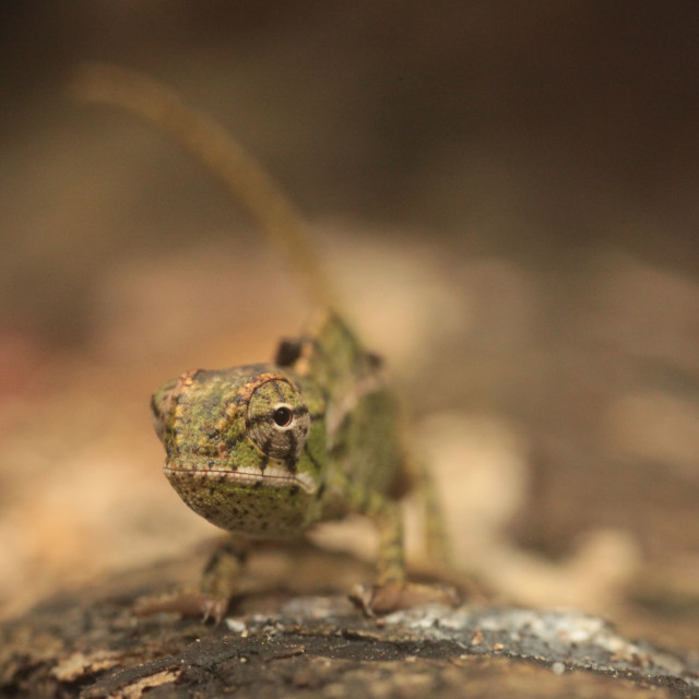 """Baby furcifer chameleon"" stock image"