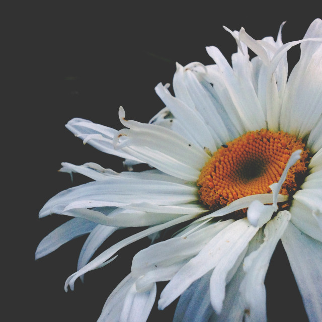 """Close up of daisy flower"" stock image"