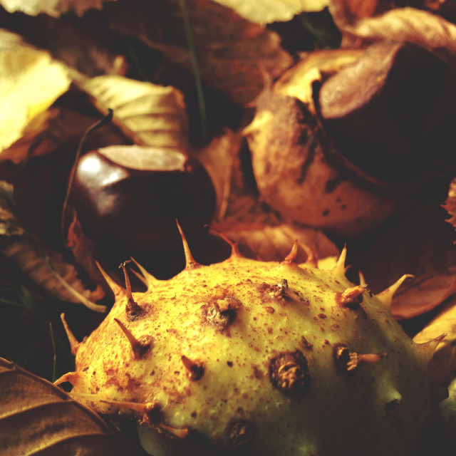 """""""Conkers on ground"""" stock image"""