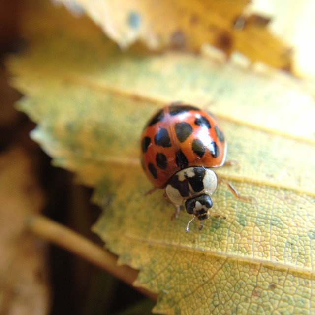"""Autumn ladybird"" stock image"