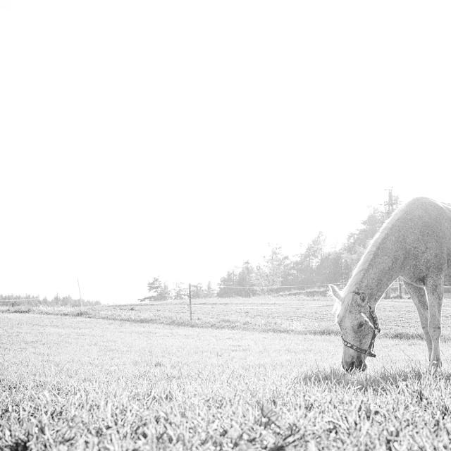 """Grey horse grazing"" stock image"