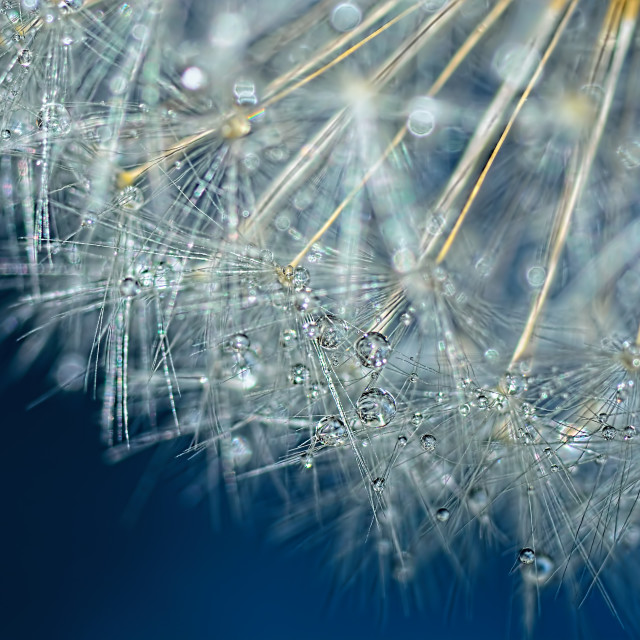 """Blue Dandelion Dew"" stock image"