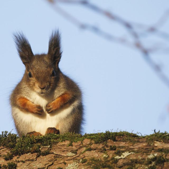 """""""Red Squirrel Sciurus vulgaris"""" stock image"""