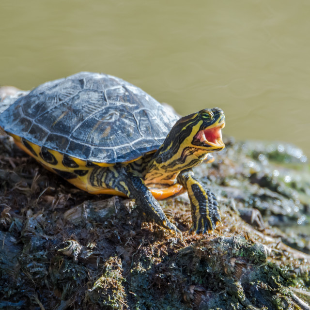 """water turtle"" stock image"
