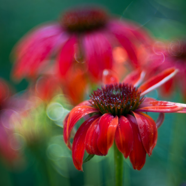 """""""Red petals"""" stock image"""