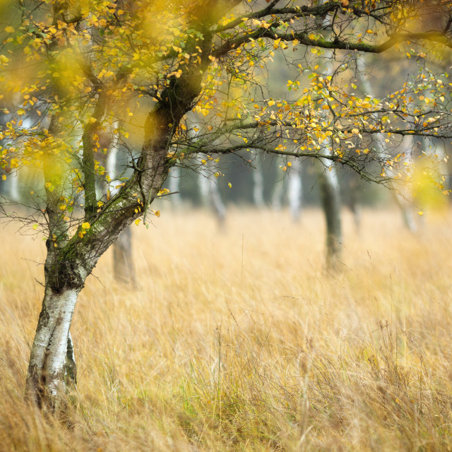 """Moorland Birch"" stock image"