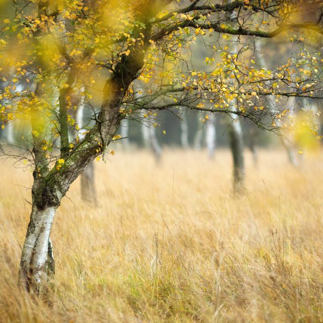 """Moorland Birch"" stock image"