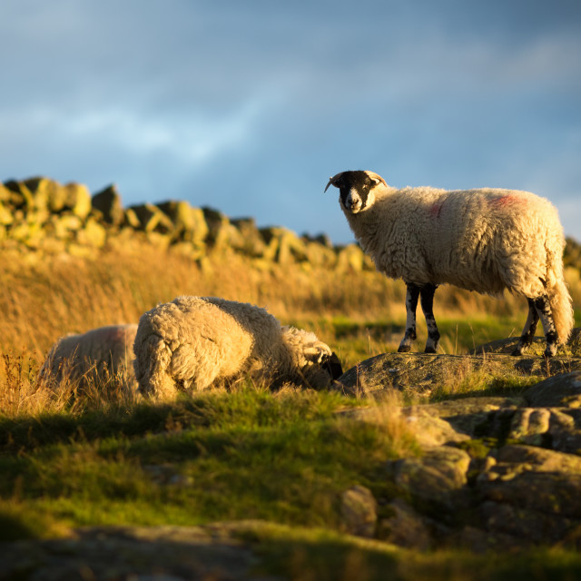 """""""Sheep on the Hilltop - colour"""" stock image"""