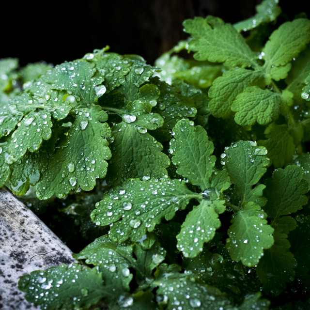 """Rain drops on green leaves"" stock image"