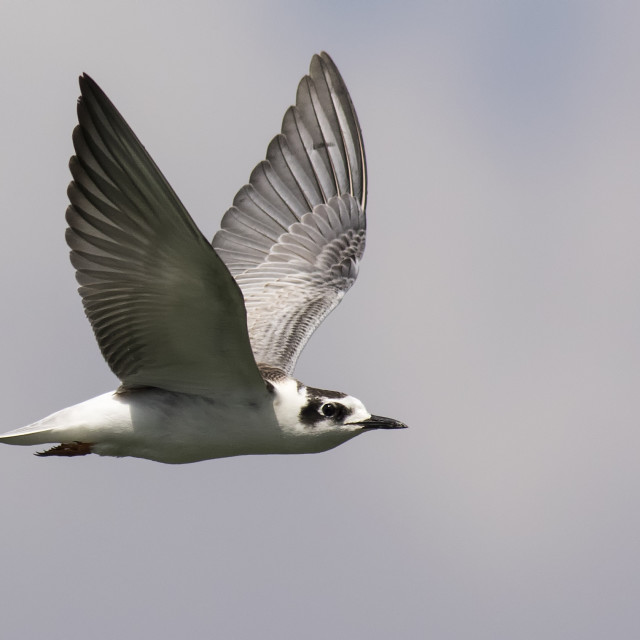 """White Winged Black Tern in Flight"" stock image"