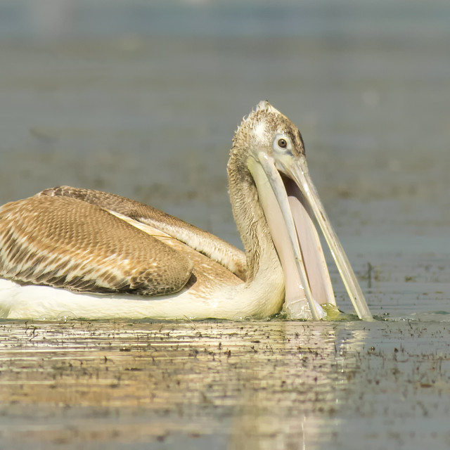 """Dalmation Pelican fishing"" stock image"