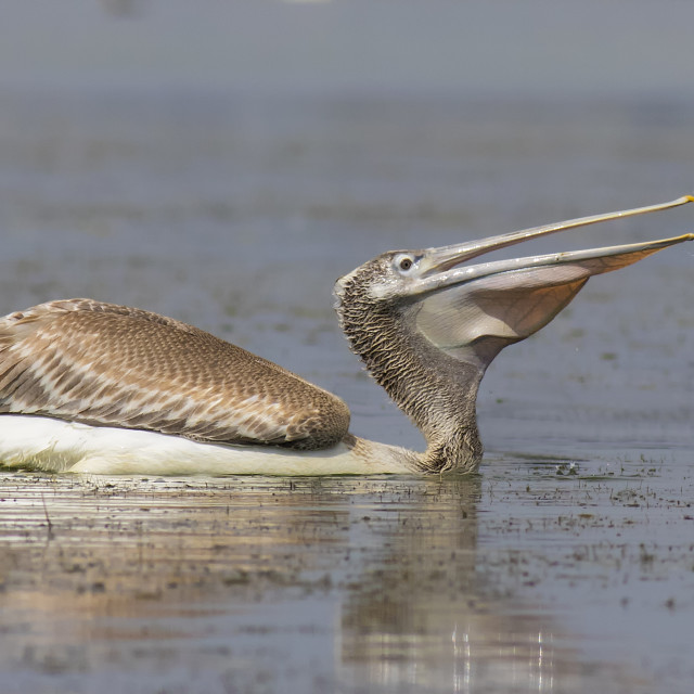 """Dalmation Pelican"" stock image"
