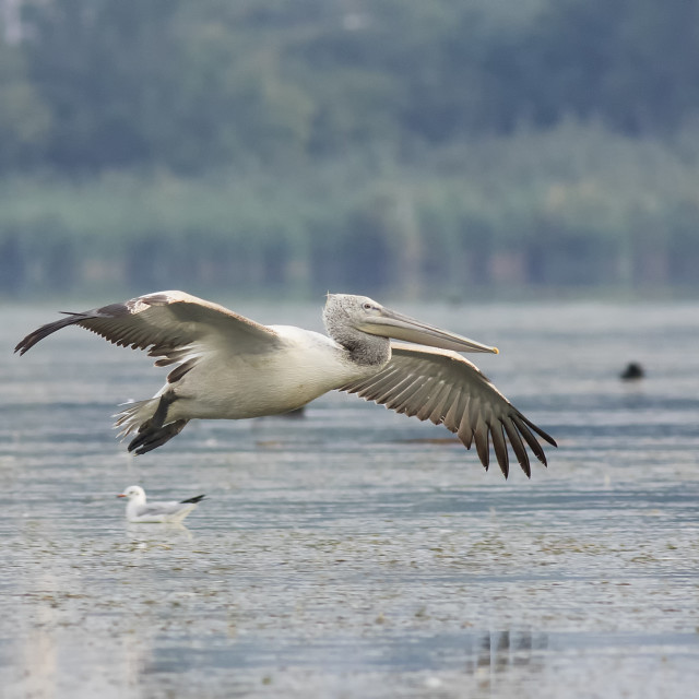 """Dalmation Pelican in Flight"" stock image"