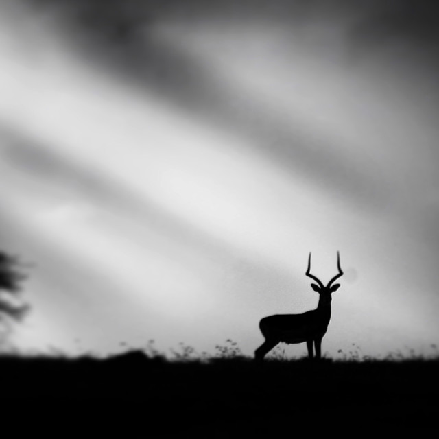 """A silhouette of an Impala"" stock image"