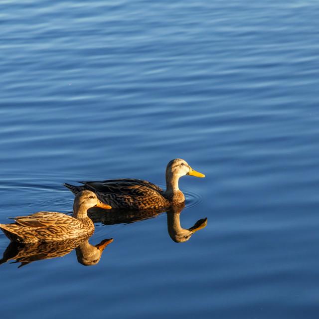 """Swimming mallards in the lake"" stock image"