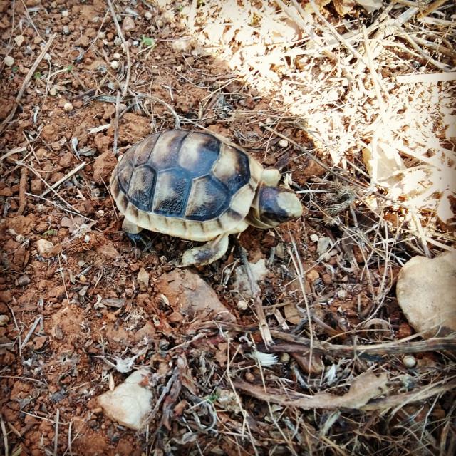 """Baby turtle"" stock image"