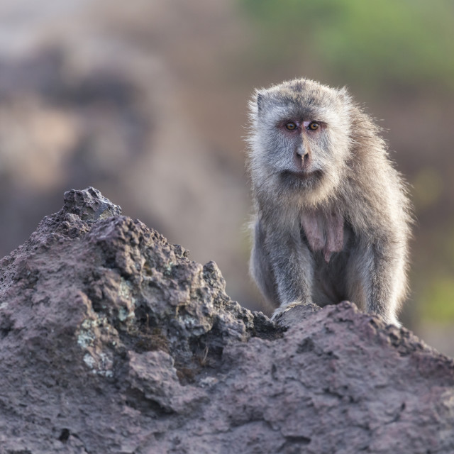 """Wild monkey at the top of mountain Batur in Bali island"" stock image"