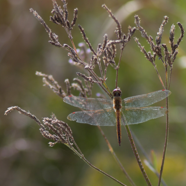 """Dragonfly and scenery"" stock image"