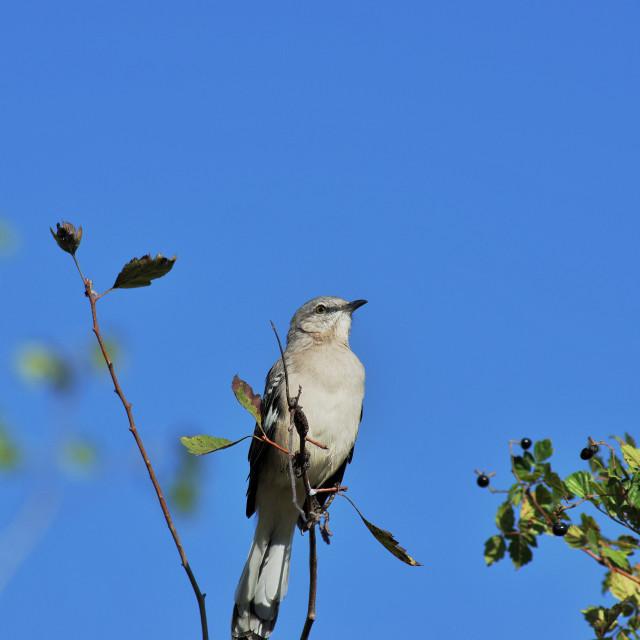"""A perching mockingbird"" stock image"