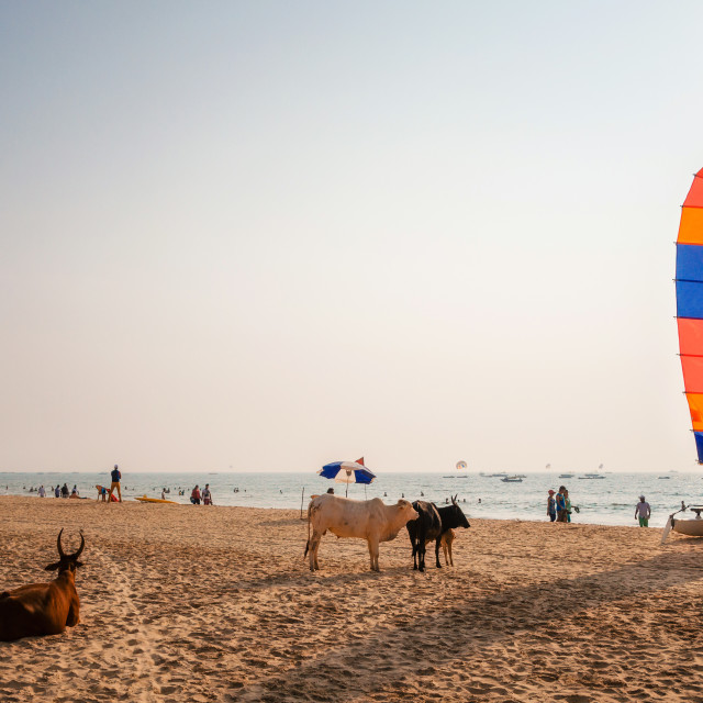 """""""Indian cows relaxing on Calangute beach, North Goa, India"""" stock image"""
