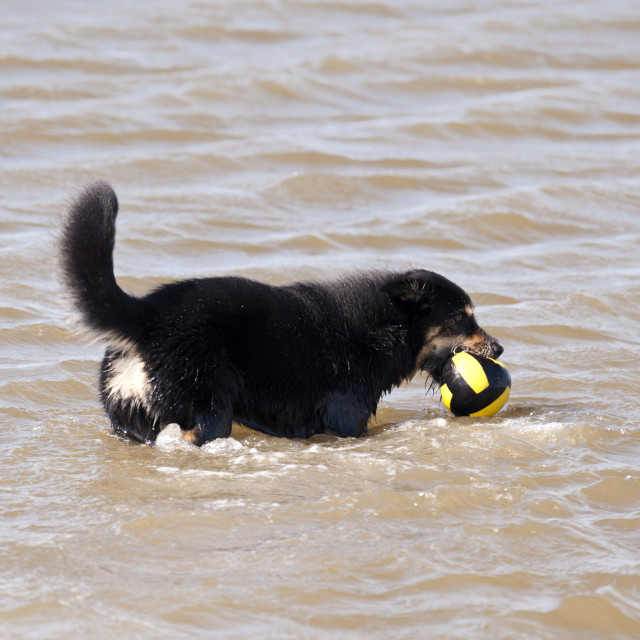 """""""Dog bathing in the North Sea"""" stock image"""