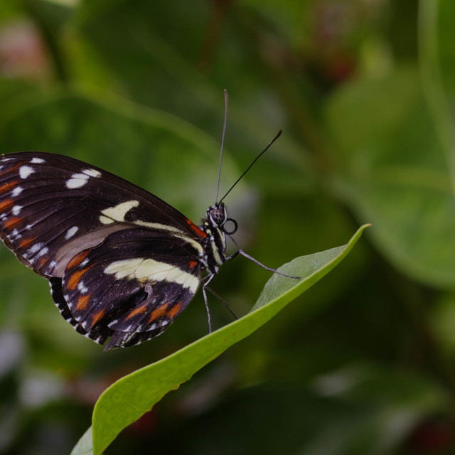 """Butterfly Resting on a Leaf"" stock image"