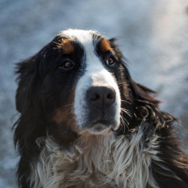 """portrait of Bernese Mountain Dog"" stock image"