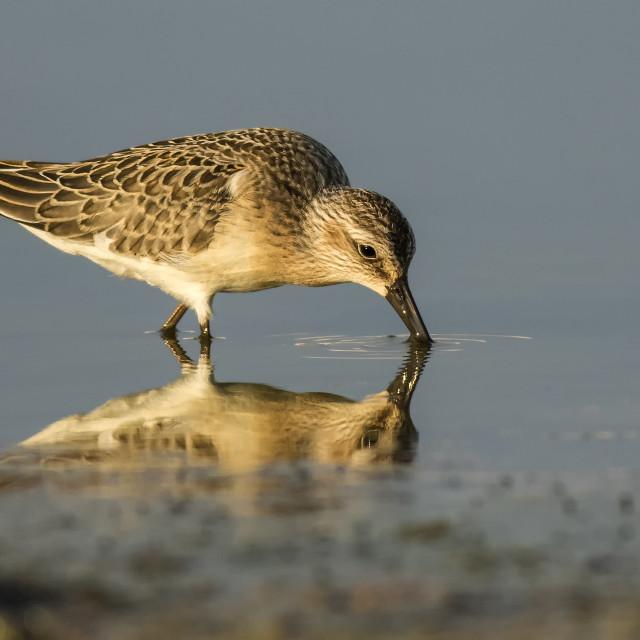 """Curlew Sandpiper feeding"" stock image"
