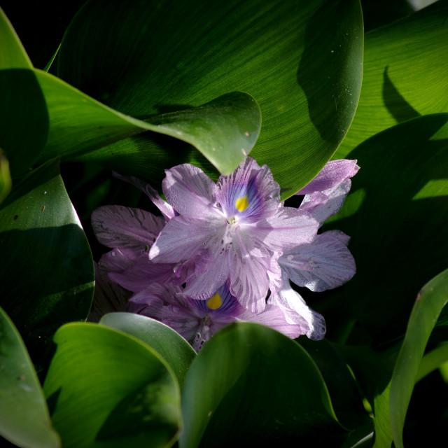 """Water hyacinth"" stock image"