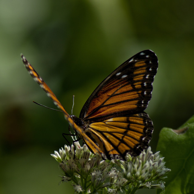 """Viceroy butterfly"" stock image"