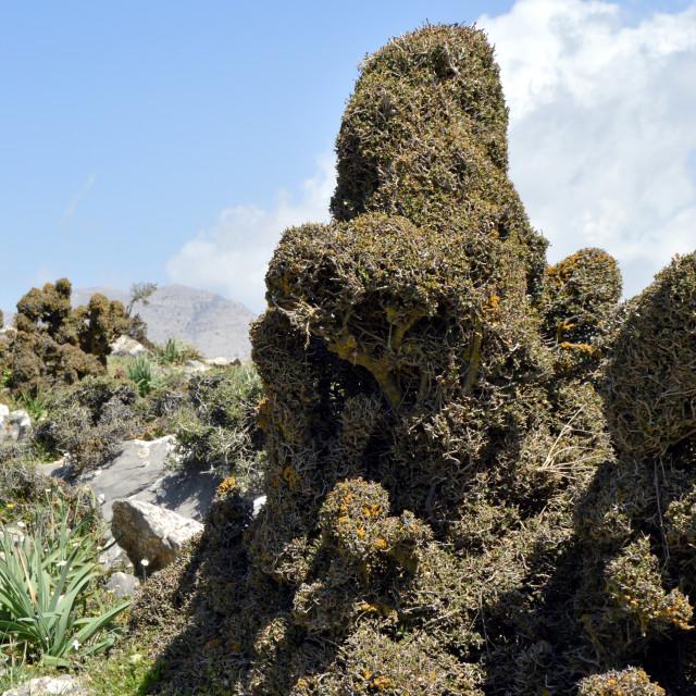 """A thorny shrub on a rocky peak."" stock image"