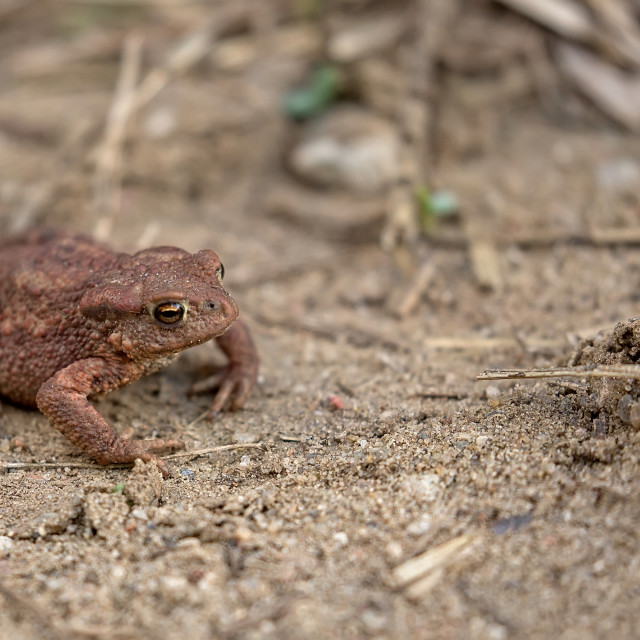 """Brown frog in the wild"" stock image"