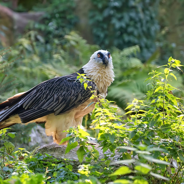 """""""Bearded vulture - Gypaetus barbatus in the wild"""" stock image"""