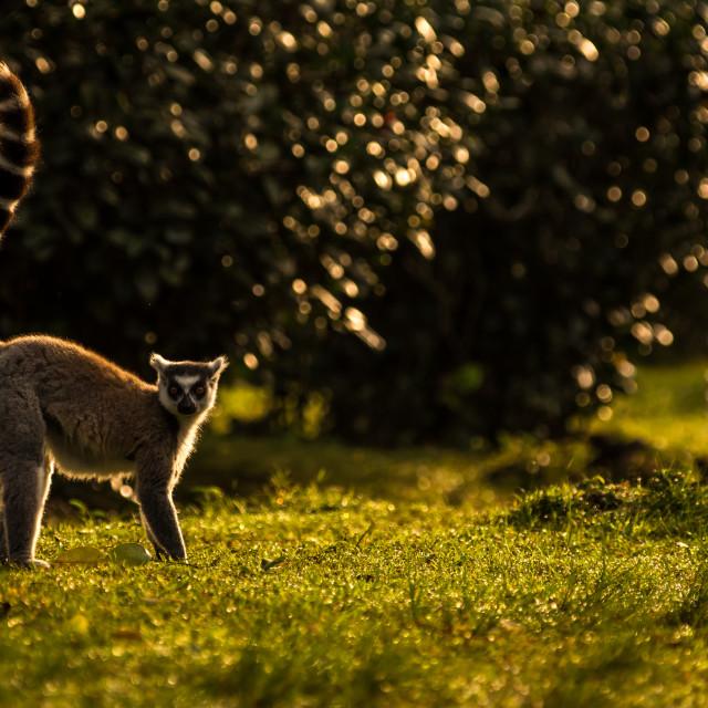 """Ring tailed Lemur in morning sunlight, Madagascar"" stock image"