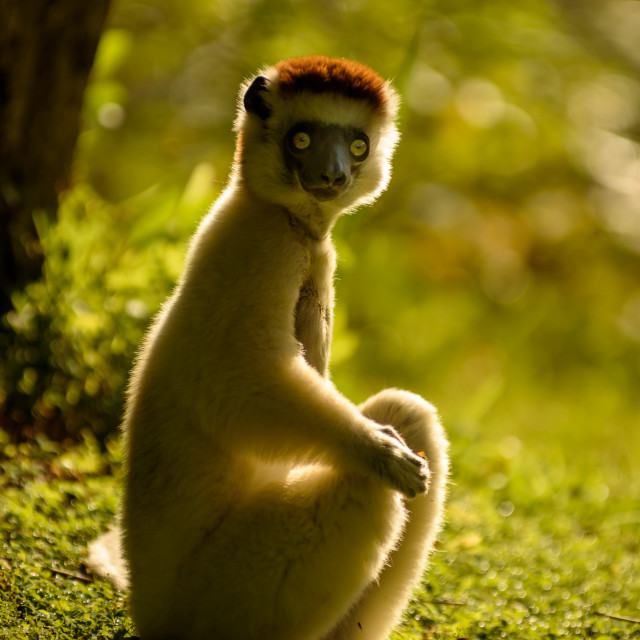 """Verreaux Sifaka in Madagascar"" stock image"