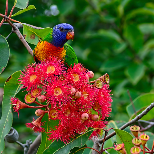 """Lorikeet And Gum Nut Blossoms"" stock image"