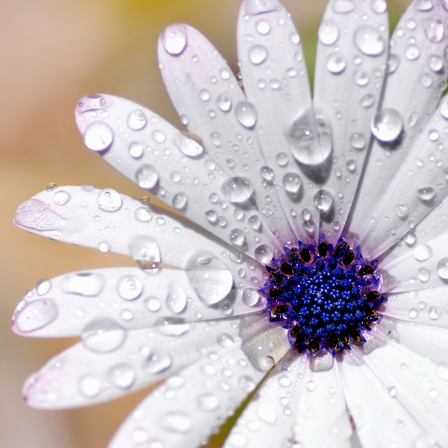 """Rain Soaked Daisy"" stock image"