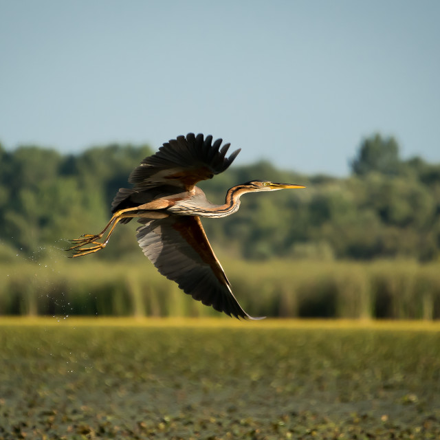 """Purple Heron"" stock image"
