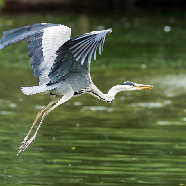 """Grey Heron"" stock image"