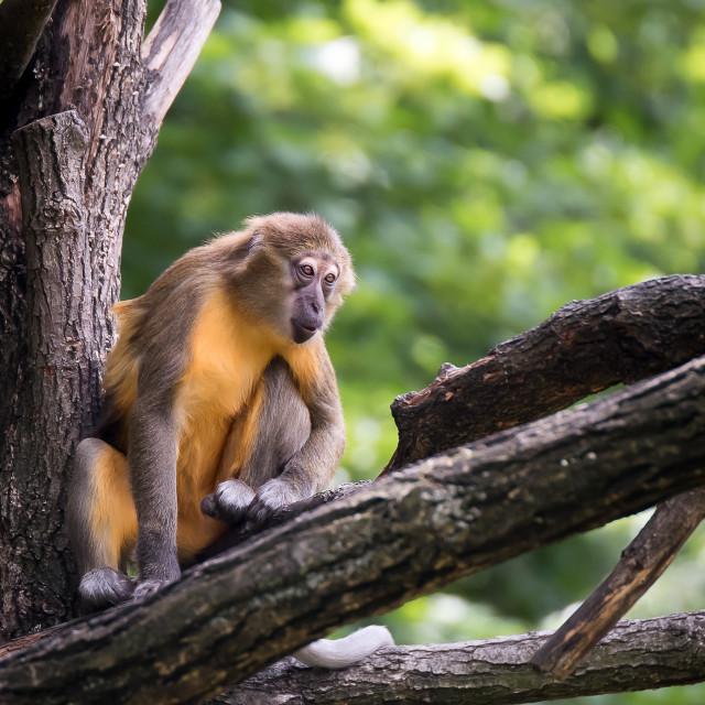 """Monkey on the tree listening"" stock image"