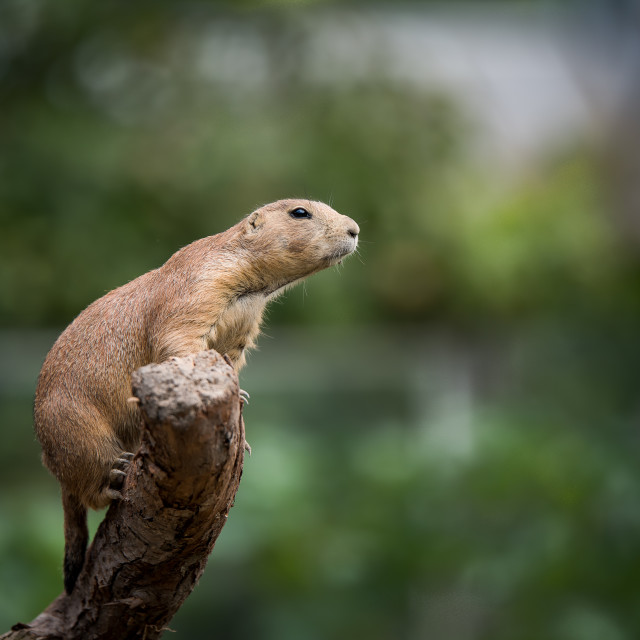 """prairie dog"" stock image"