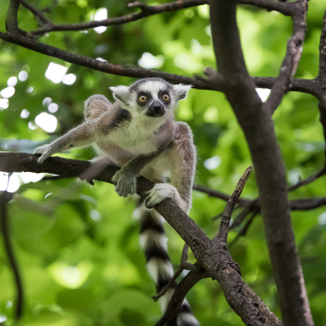 """ring-tailed lemur"" stock image"