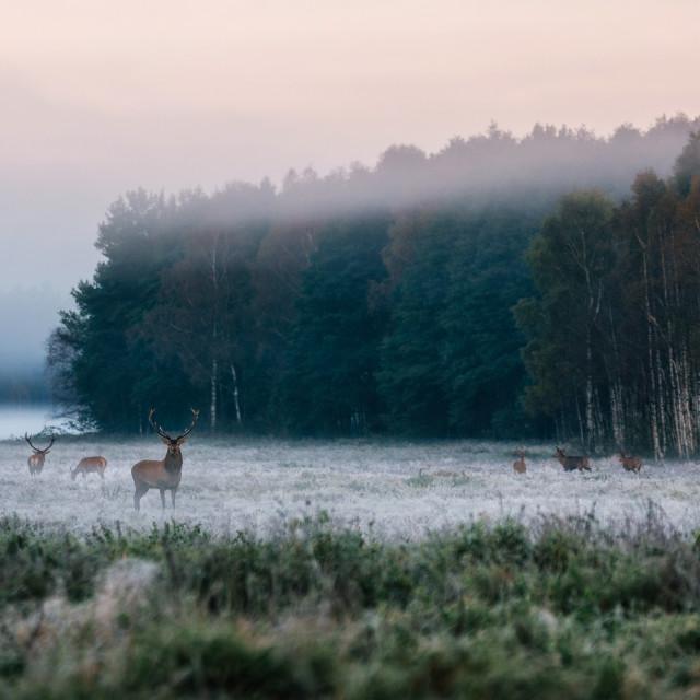 """Red deer with his herd on foggy field in Belarus."" stock image"