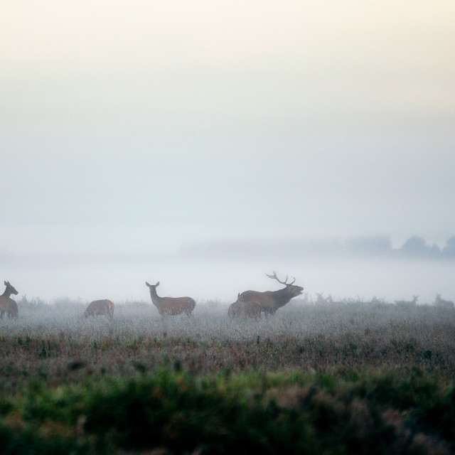 """""""Herd of red deer on foggy field in Belarus."""" stock image"""