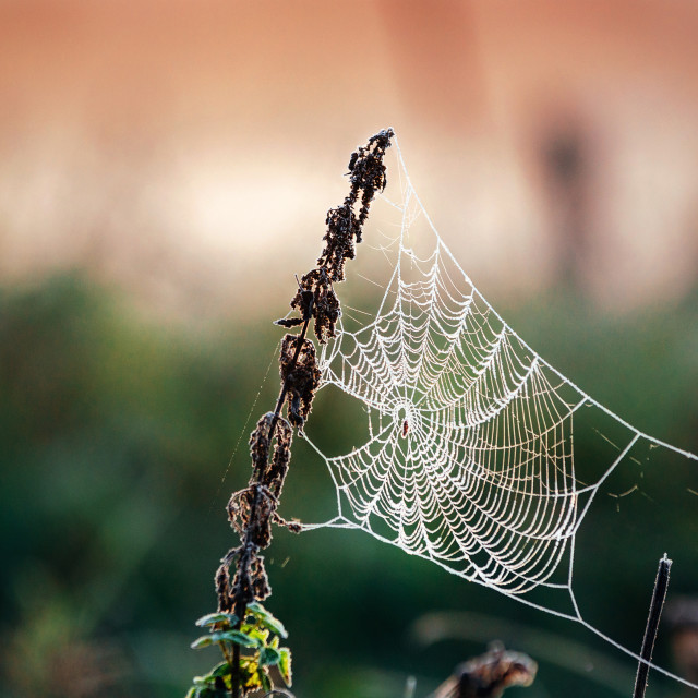 """Cobweb in frost at morning. Ice on the spider's web"" stock image"