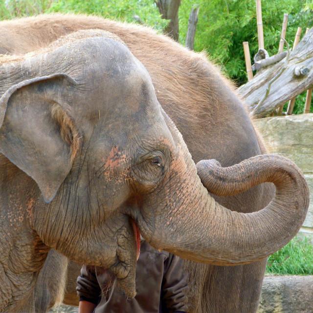 """""""Elephant Smile"""" stock image"""
