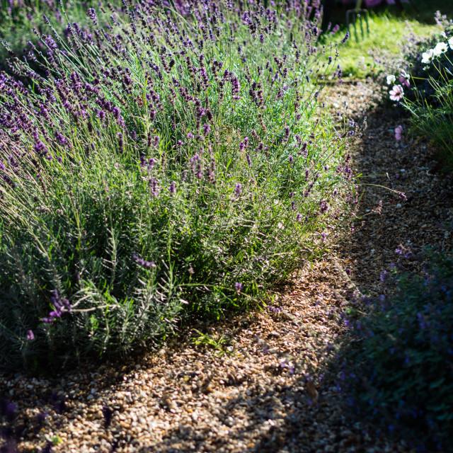 """Lavender walk"" stock image"