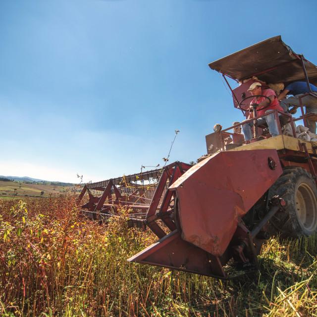 """harvesting the buckwheat"" stock image"