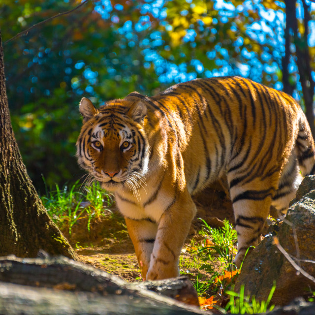 """Tiger Roams Around at the Zoo"" stock image"